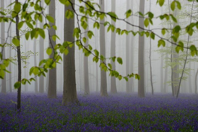 hallerbos in de mist