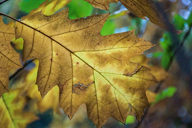hallerbos herfst - Amerikaanse eik
