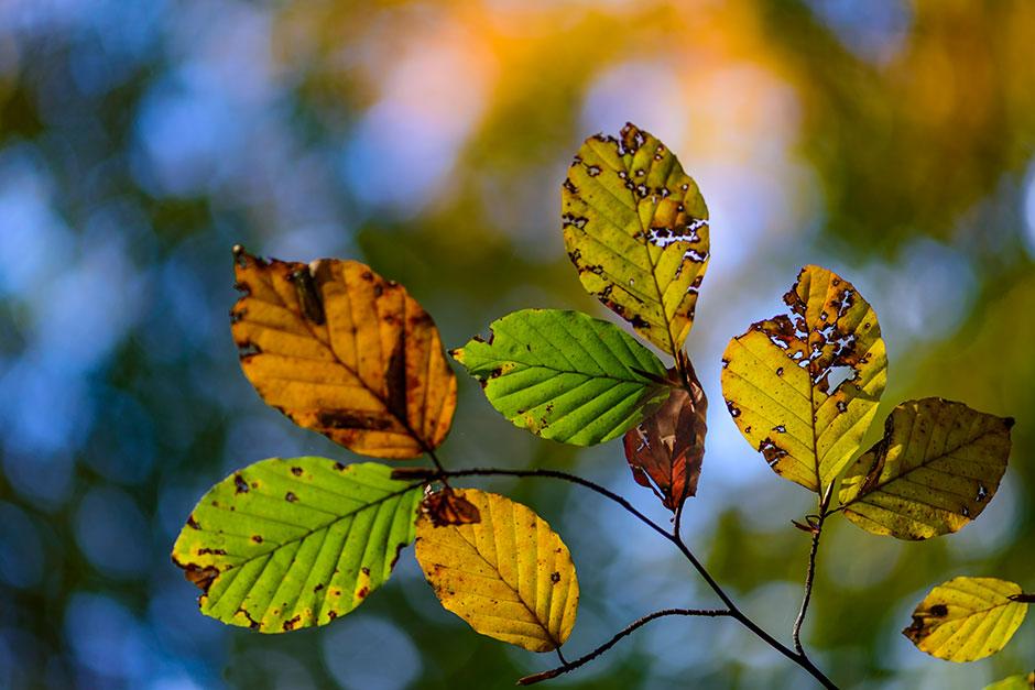 herfstkleuren beukenbladeren