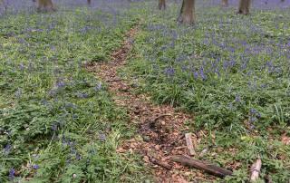 hallerbos schade hyacinten