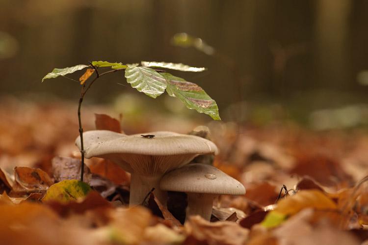 hallerbos herfst nevelzwam