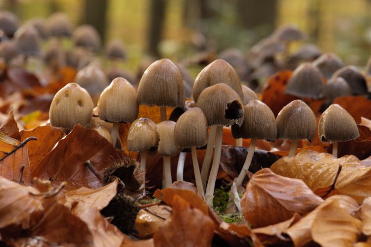 hallerbos herfst glimmerinktzwam