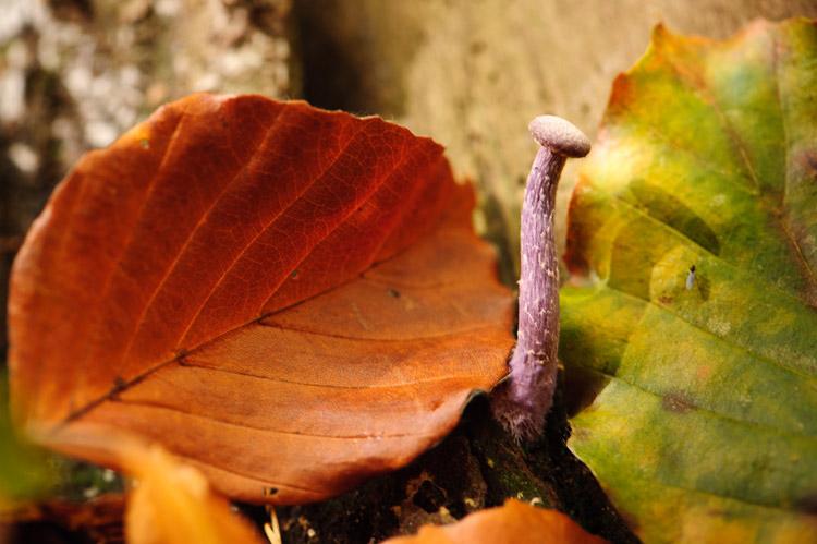 hallerbos herfst amethistzwam