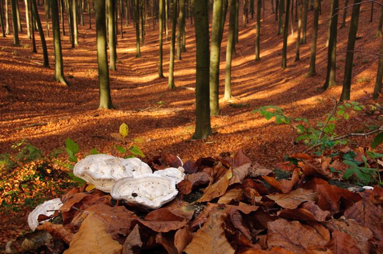 hallerbos herfst witte bultzwam