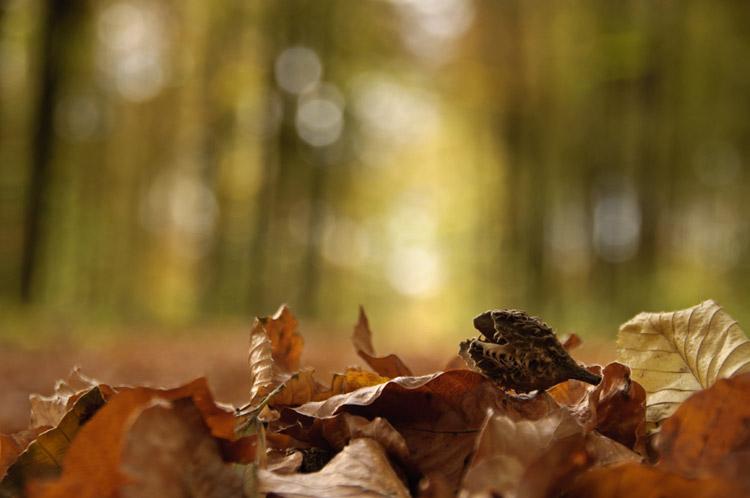 hallerbos herfst beukennapje