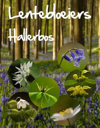 info lentebloeiers hallerbos